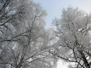 Träd utanför lägenheten där jag bodde.