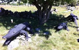 Krokodiler! Gjorda av bildäck!